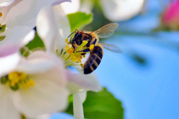 Biene in der Apfelblüte