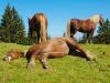 Pferdeschlaf